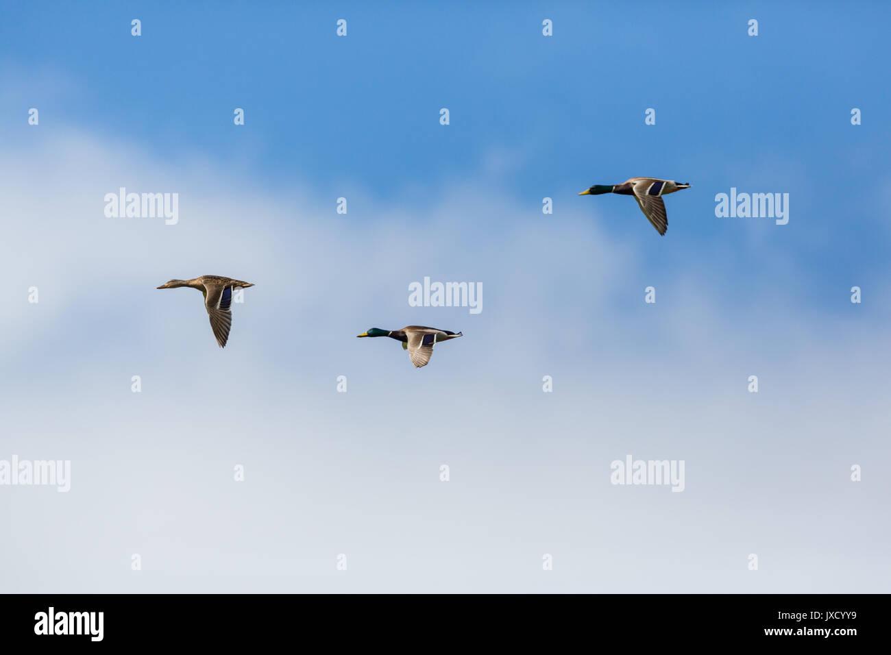 three natural mallard ducks (anas platyrhynchos) flying, clouds, blue sky - Stock Image