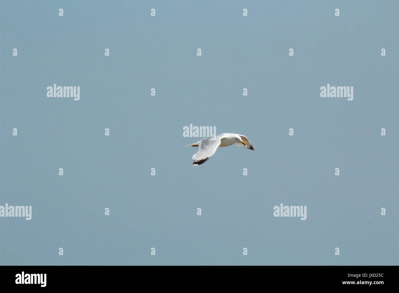 Seagull flying in the clear blue sky by the coast - Stock Image