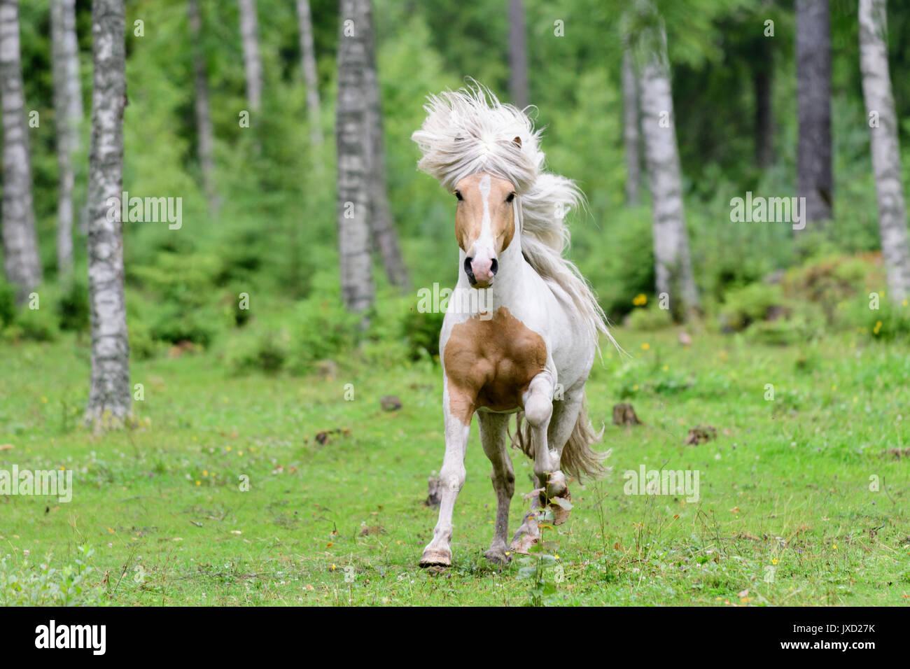 Running Icelandic horse in birch forest in Sweden - Stock Image