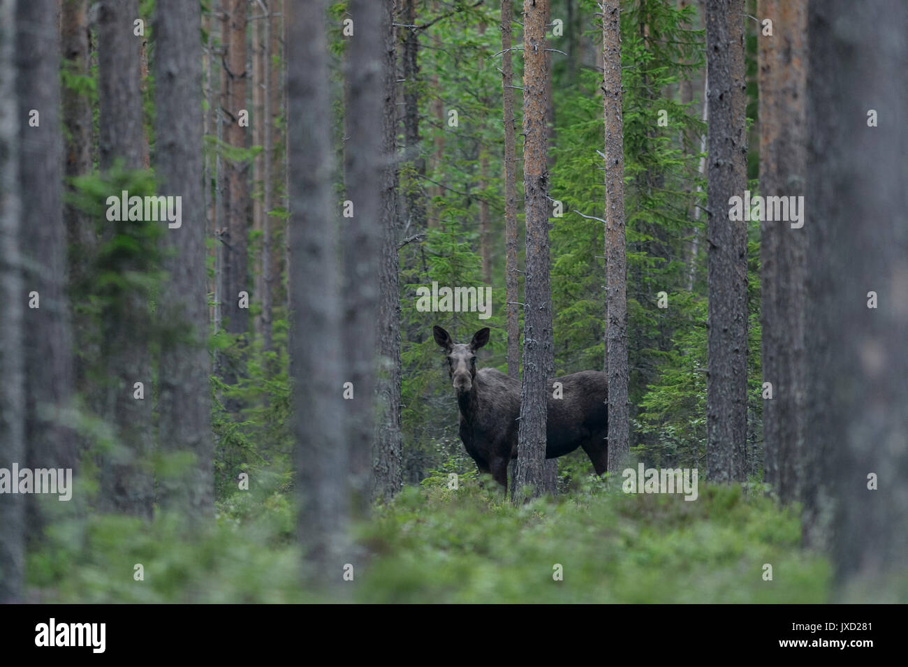 Moose in a Swedish forest - Stock Image