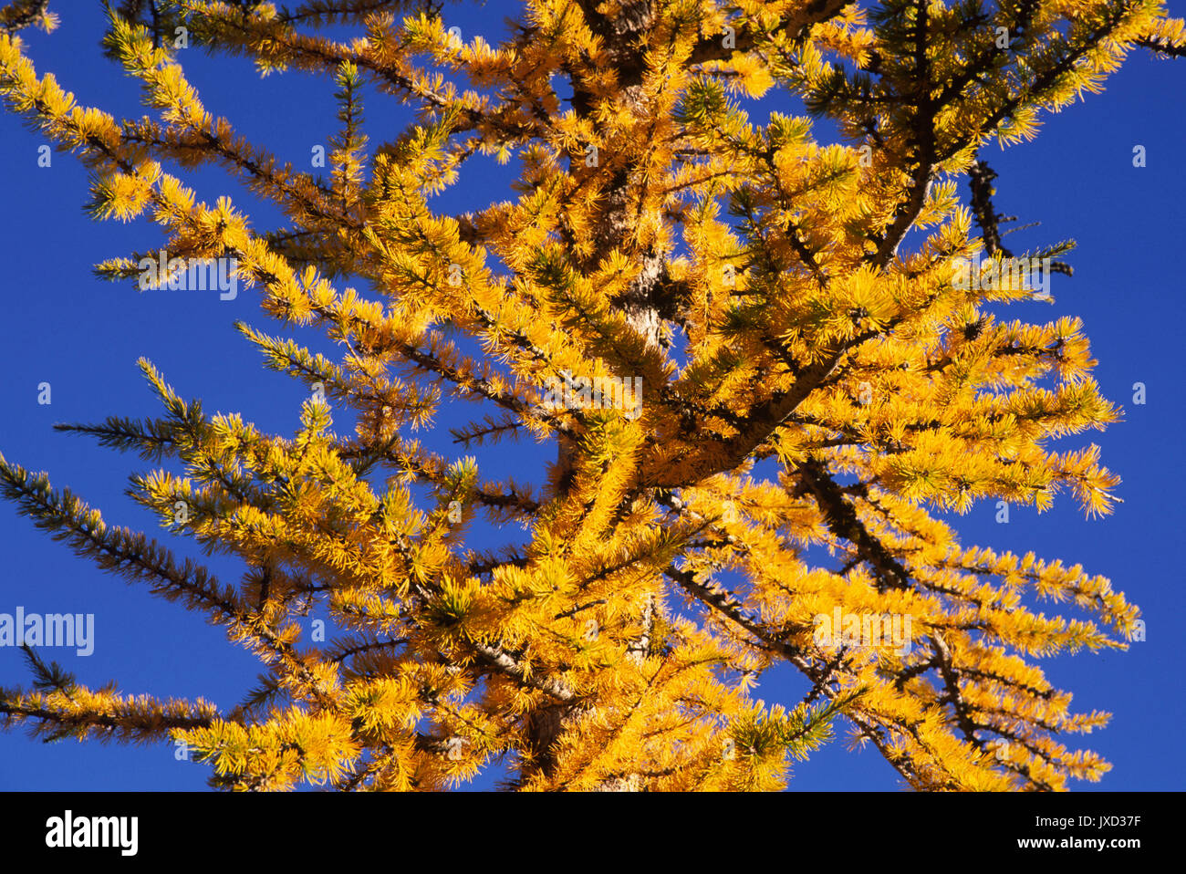 Larch near Ingalls Pass, Alpine Lakes Wilderness, Wenatchee National Forest, Washington - Stock Image