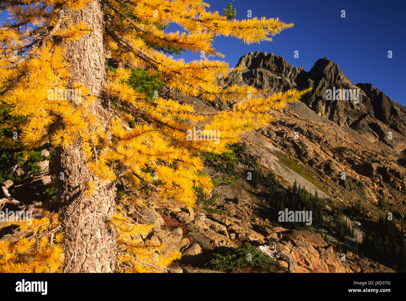 Larch with Ingalls Peak, Alpine Lakes Wilderness, Wenatchee National Forest, Washington - Stock Image