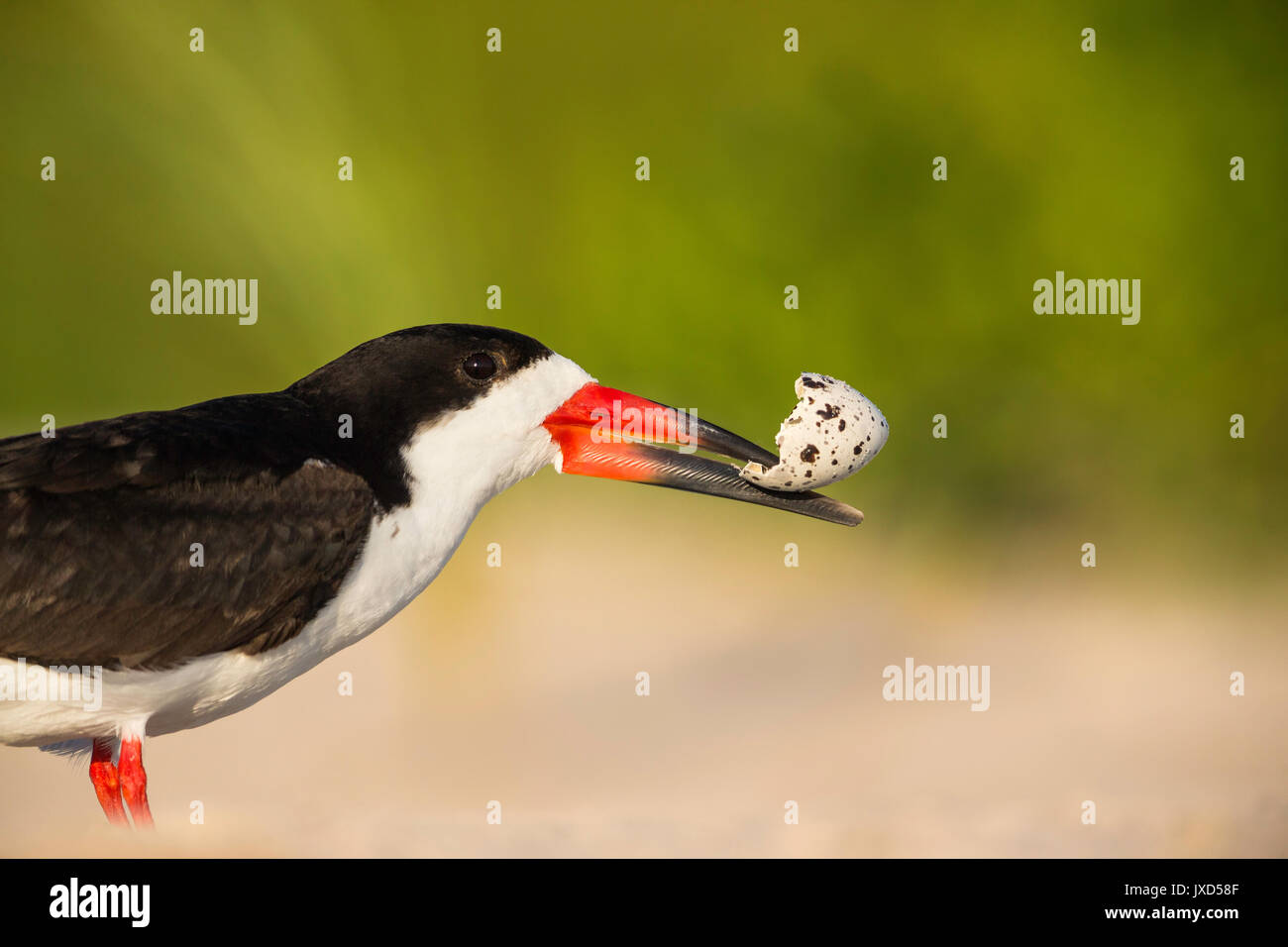 Close up of an adult Black Skimmer discarding an eggshell of just hatched chick to steer away predators from its nest. - Stock Image