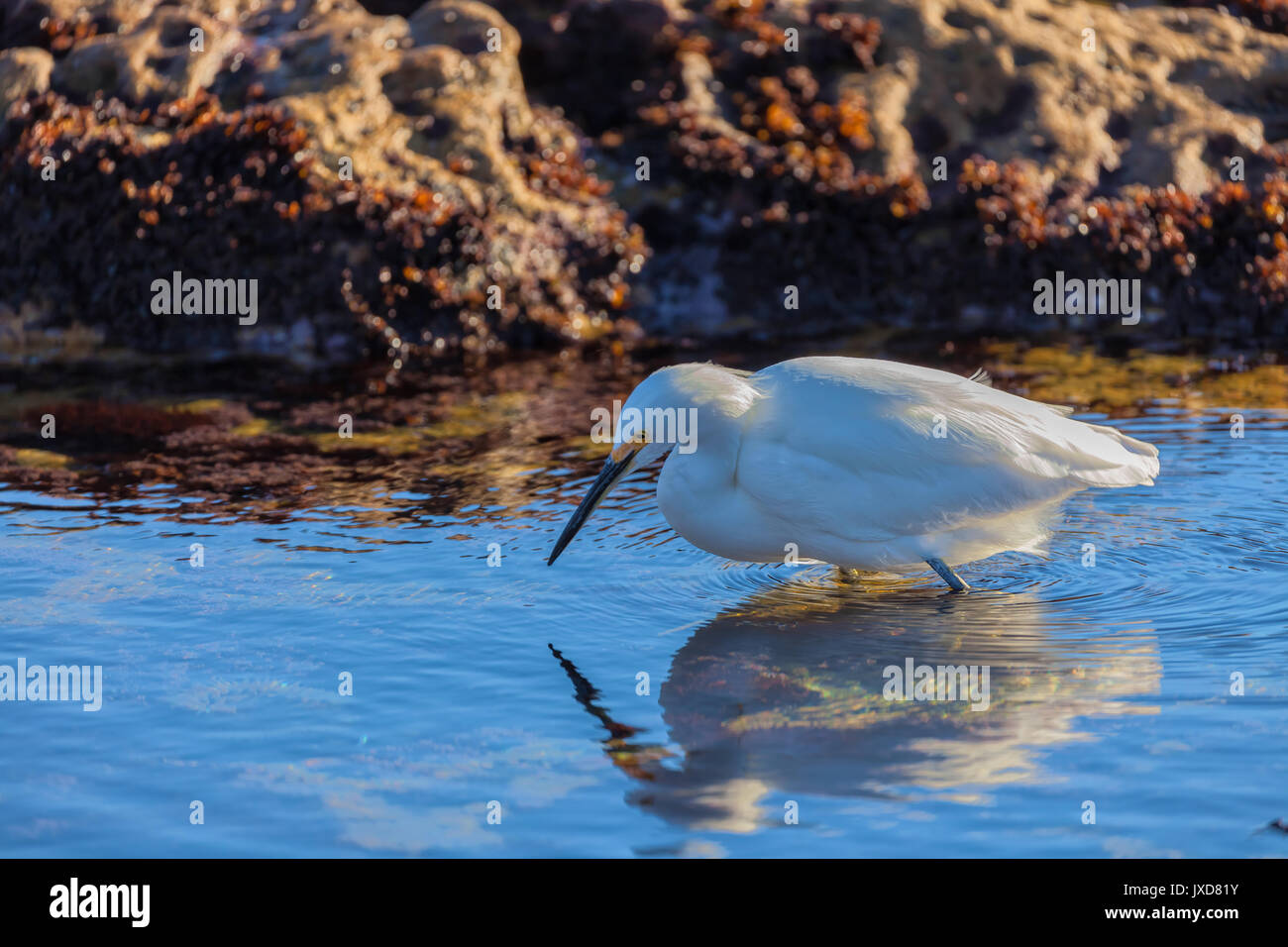 A snow egret (Egretta thula) was looking for its next meal along the California coast at Point Lobos State Reserve, USA - Stock Image
