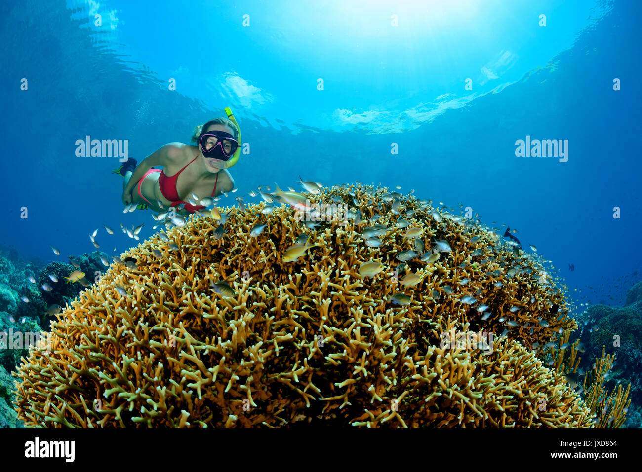 Young woman snorkeling in Coralreef with near fire corals, Selayar Island, Indonesia, Indian Ocean - Stock Image