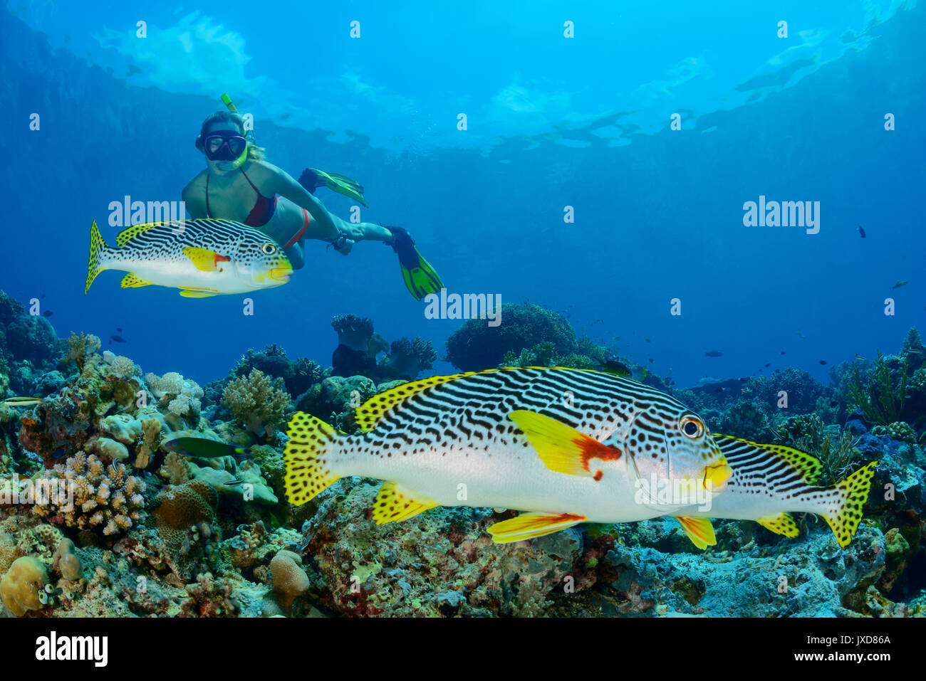 Young woman snorkeling with Yellowbanded sweetlipps, Selayar Island, Indonesia, Indian Ocean - Stock Image