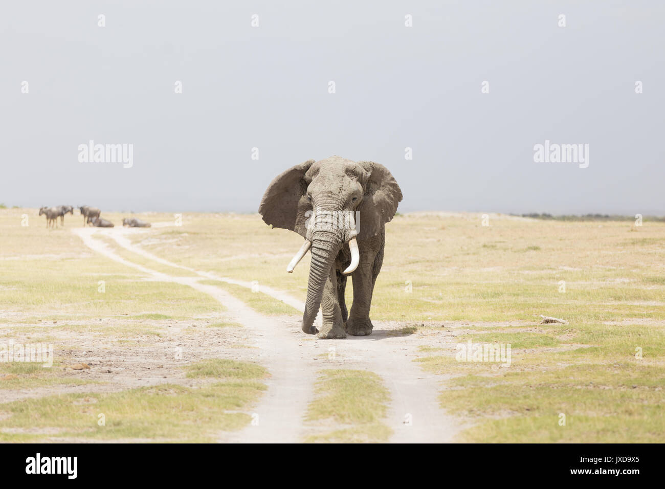 Herd of wild elephants in Amboseli National Park, Kenya. - Stock Image
