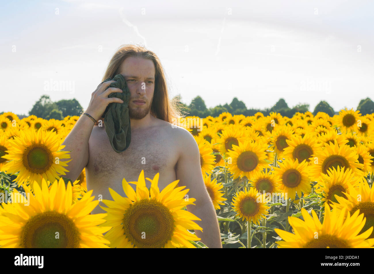 Young model suffers heat in a sunflower field - Stock Image