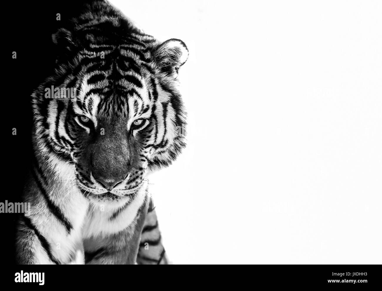 black and white photo edited  tiger eyes contact look at camera - Stock Image