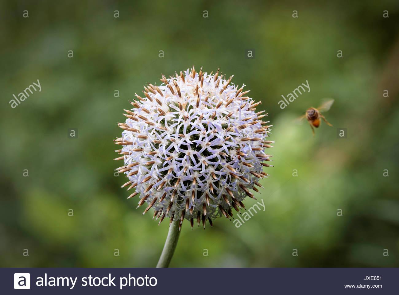 globe-thistle globe thistle flower glandular woolly perennial herbaceous spherical inflorescence Asteraceae - Stock Image