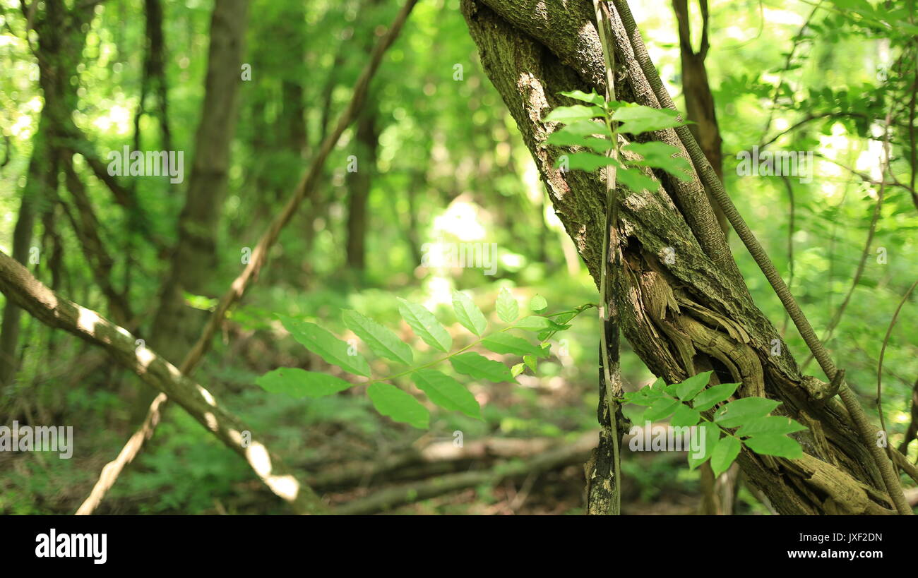 Close up of vines/undergrowth in a forest in North Eastern USA. Stock Photo