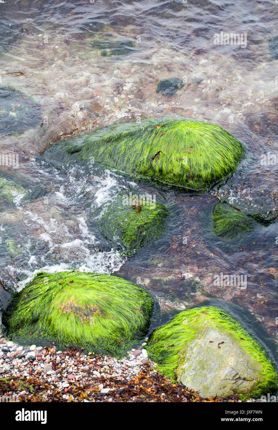 Cladophora glomereta Green algae - Stock Image