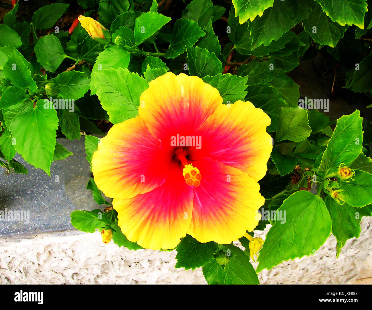 The colorful flower in Thailand - Stock Image