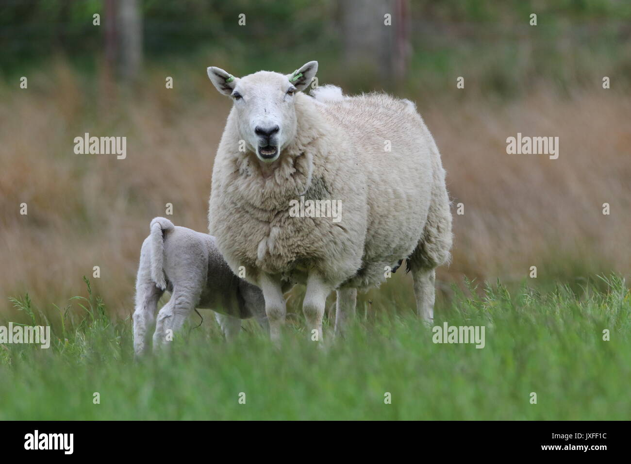 Mother and daughter, Ewe with feeding lamb. Dornoch. Scotland UK - Stock Image