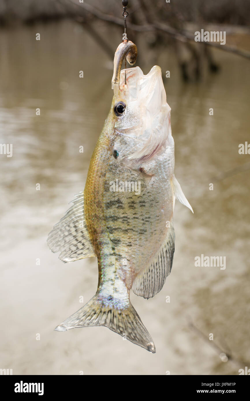 Perch Fins Stock Photos & Perch Fins Stock Images - Alamy