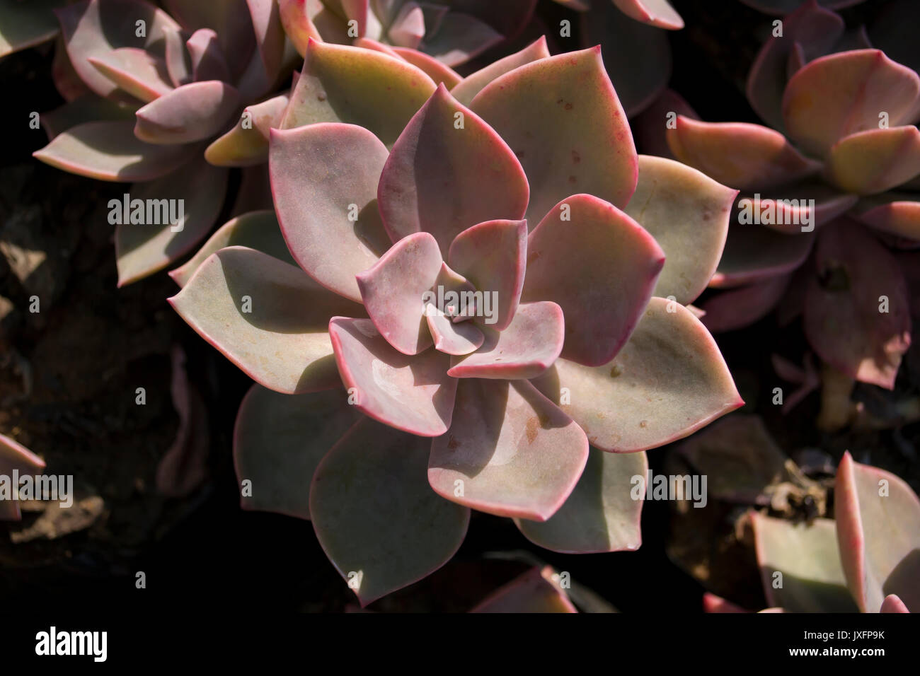 small thick botany plant - Stock Image