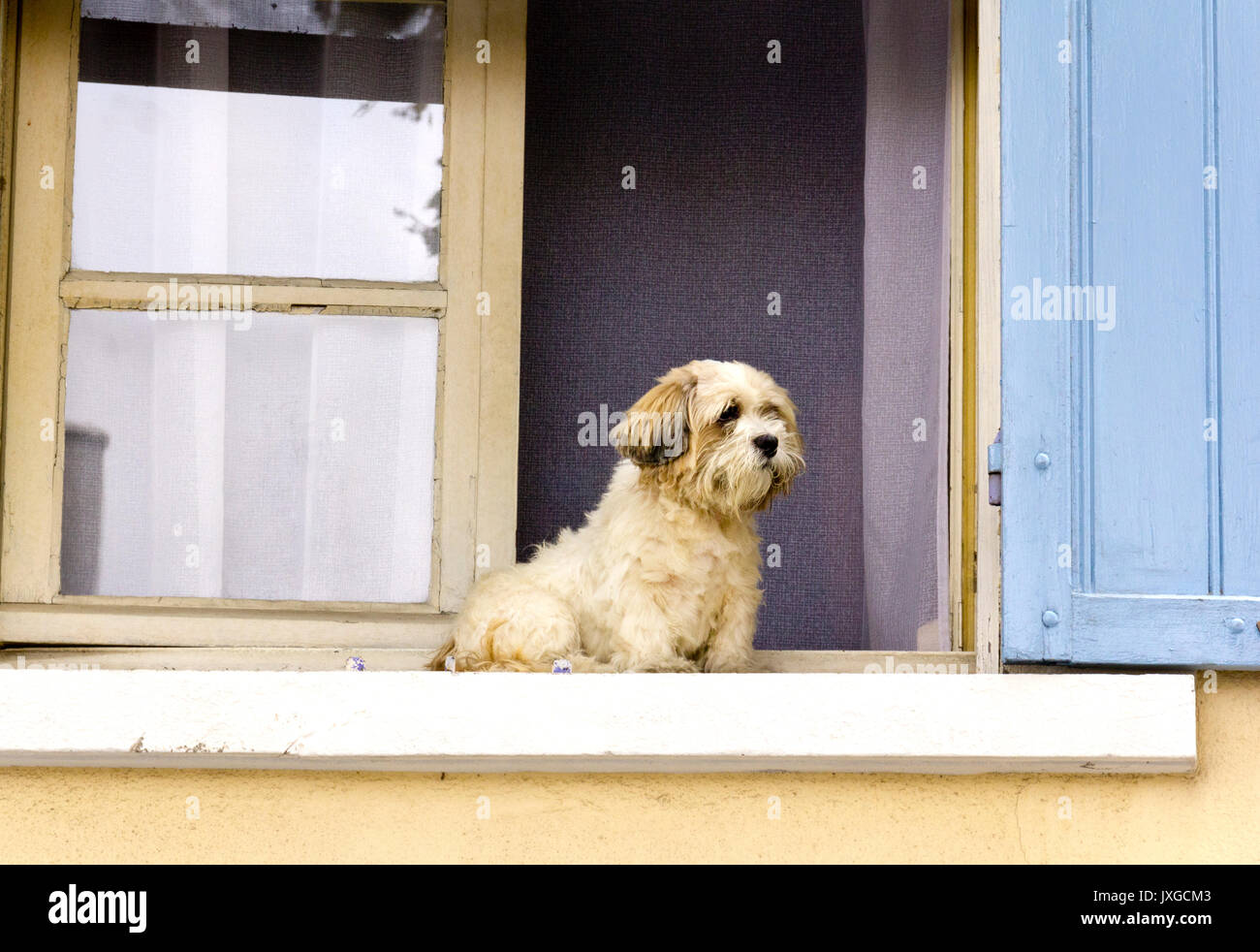 Maltese Terrier sitting on a window sill in Arles, France. Cream walls and blue shutters. - Stock Image