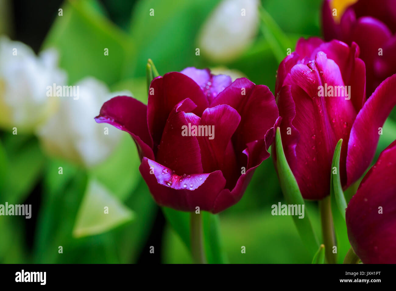 A purple tulips flowers that have a white color in the edge of ...