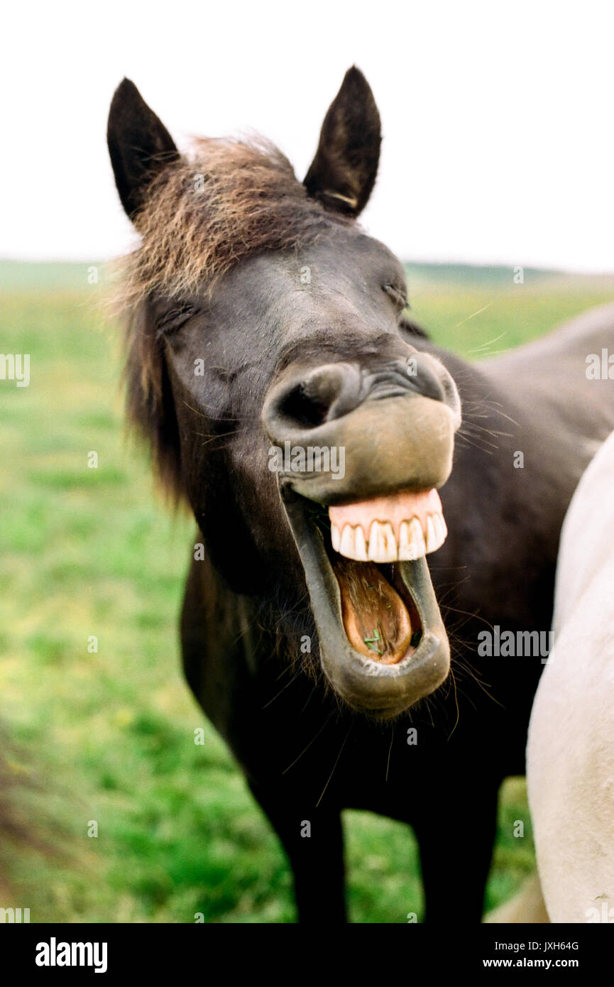 An Funny Iceland Horse In An Outside Field Laughing With Its Mouth Stock Photo Alamy