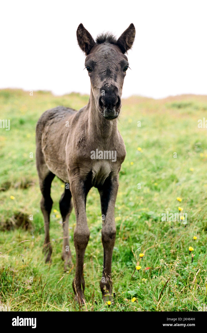 A Small Brown Iceland Foal In An Outside Field With Its Ears Forward Stock Photo Alamy