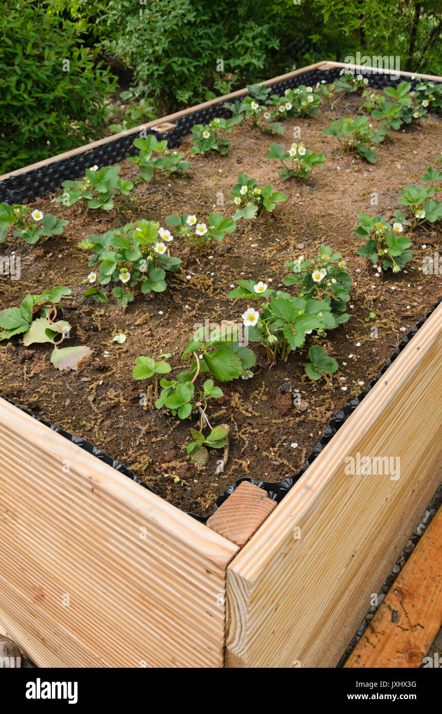 Garden Strawberry Fragaria X Ananassa In A Raised Bed