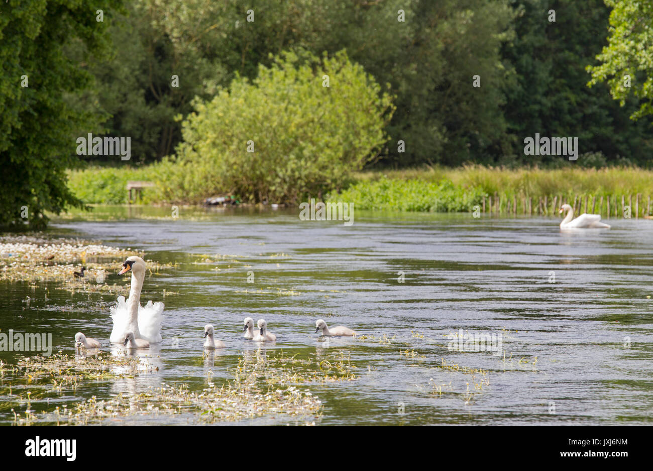 Mute Swan with Cygnets on the Wiltshire Avon in Salisbury, Wiltshire, England, UK - Stock Image