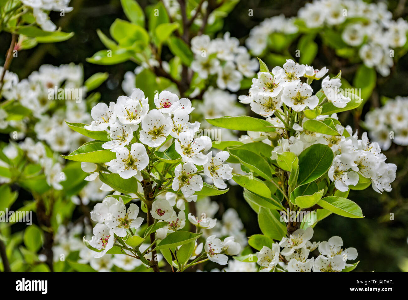 Spring pear flowers on a tree - Stock Image