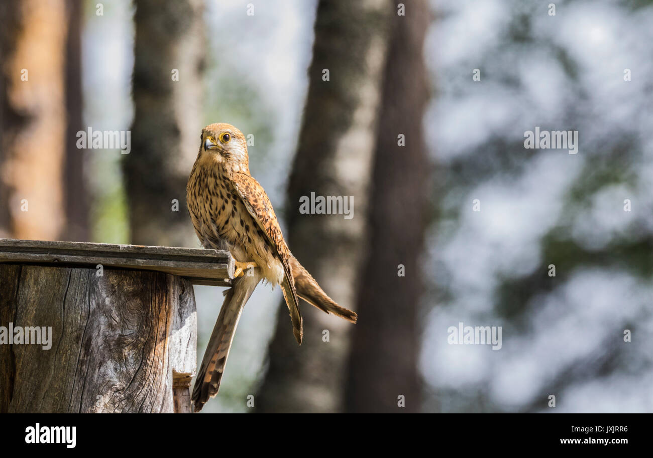 Female Common kestrel, Falco tinnunculus, sitting on top of a bird-house looking in to the camera, Norrbotten, Sweden - Stock Image
