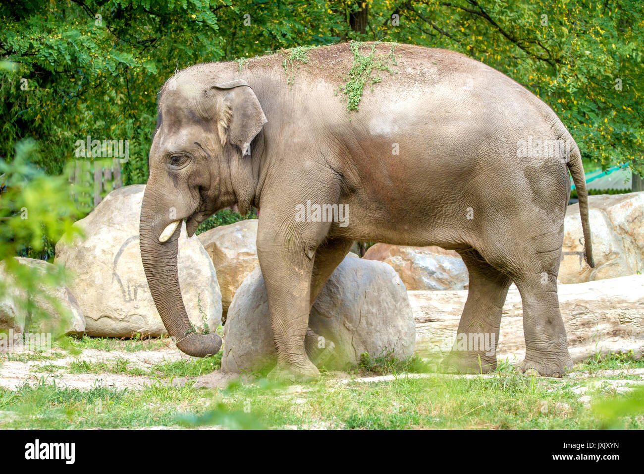 And the image of a large elephant walks in the enclosure of the zoo - Stock Image