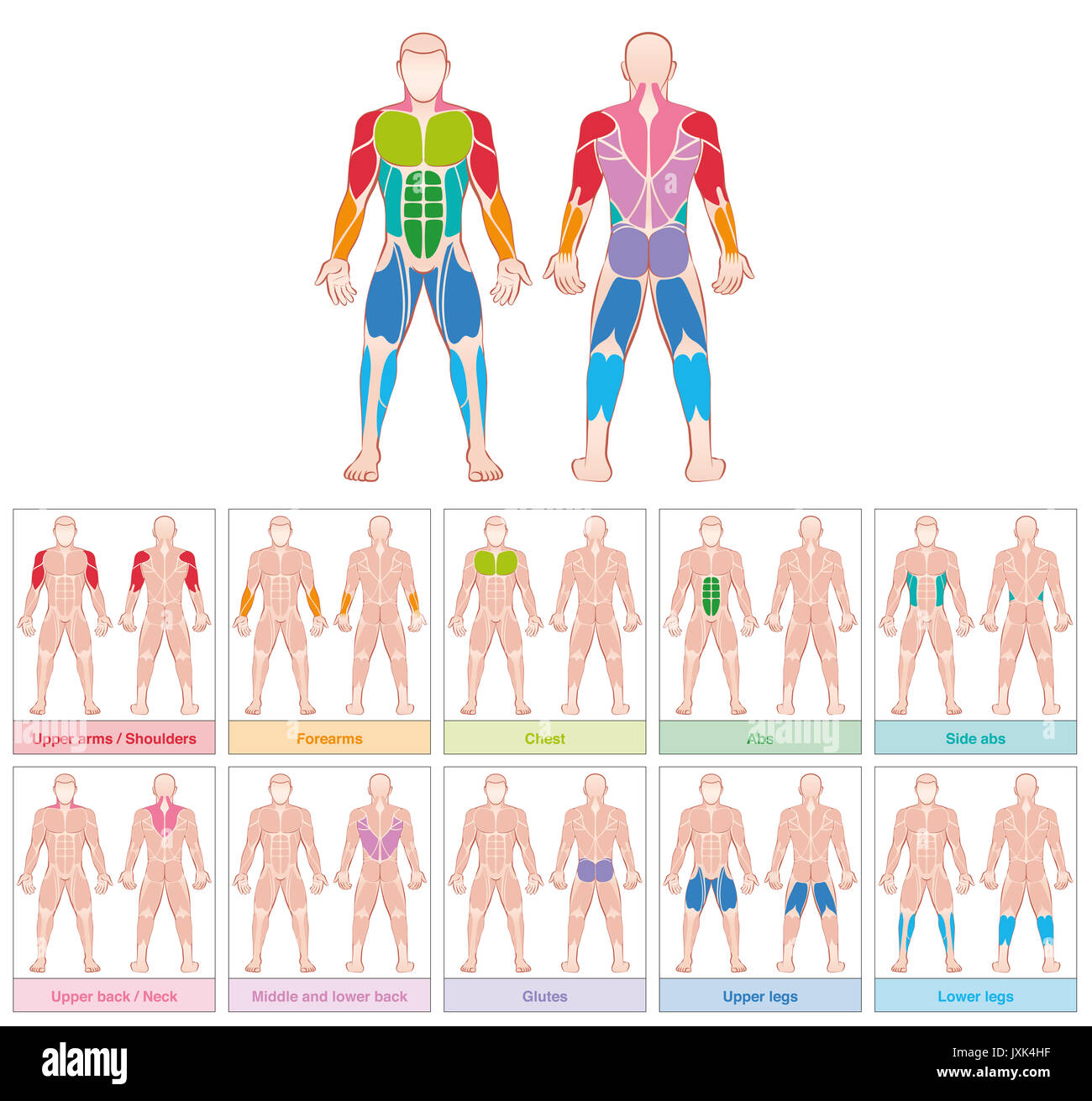 Muscle groups - chart with largest human muscles - ten colored Stock ...