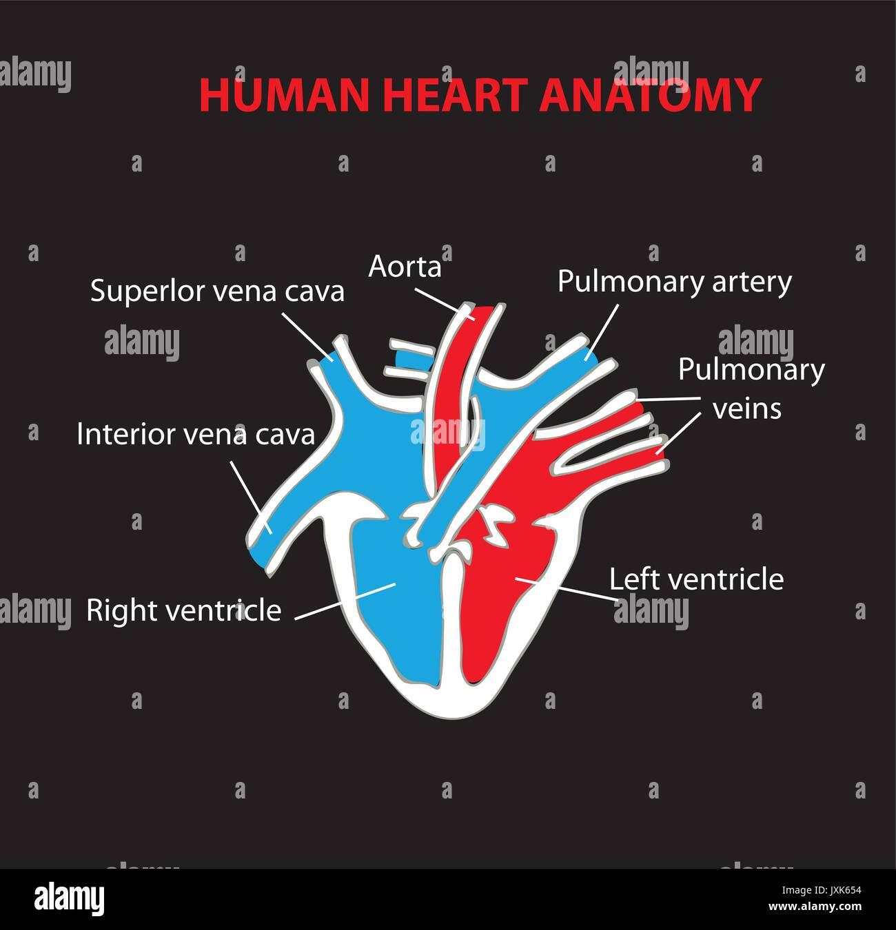 human heart  anatomy education scheme - Stock Vector