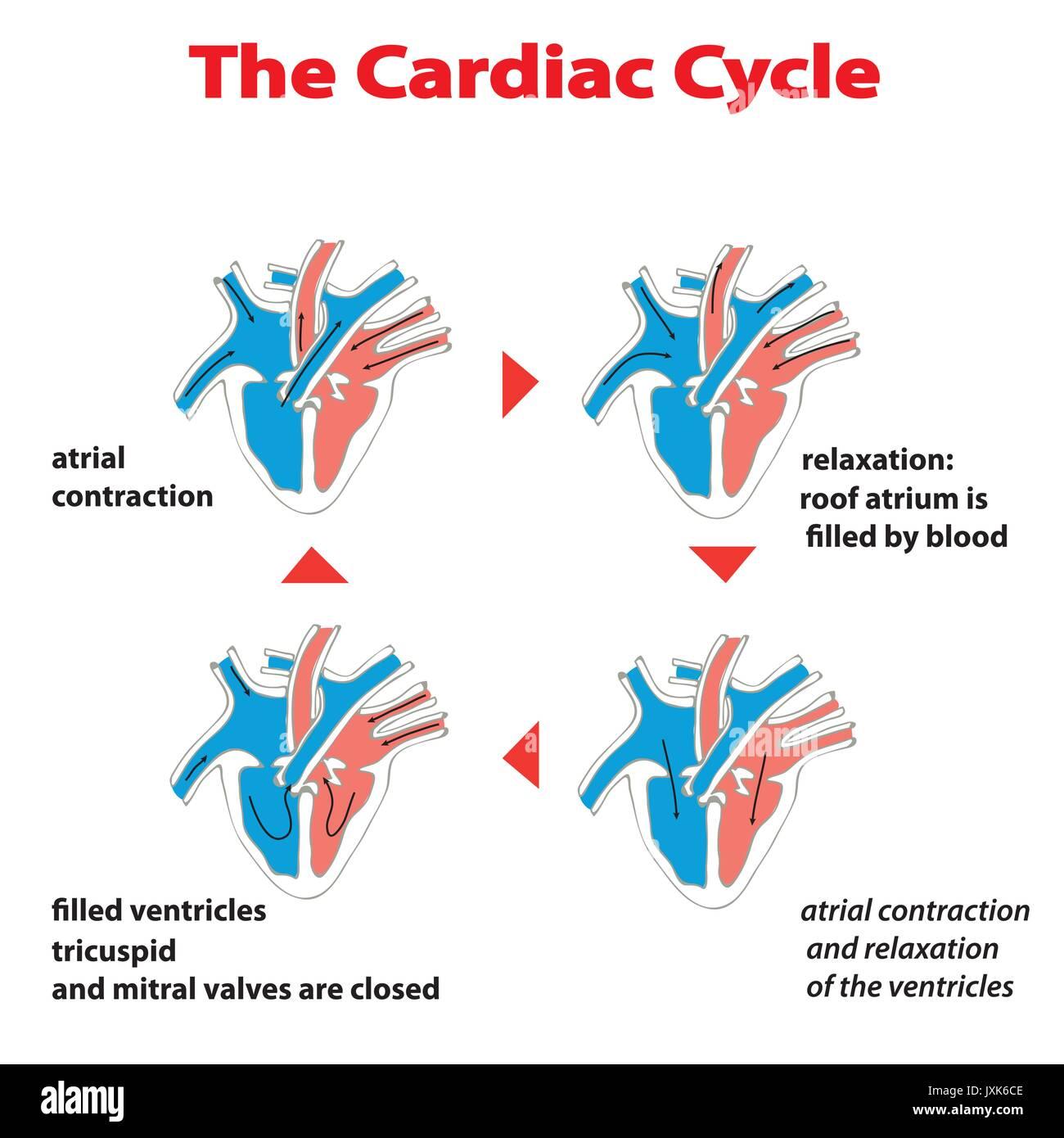 heart cardiac cyrcle education vector infographic - Stock Vector
