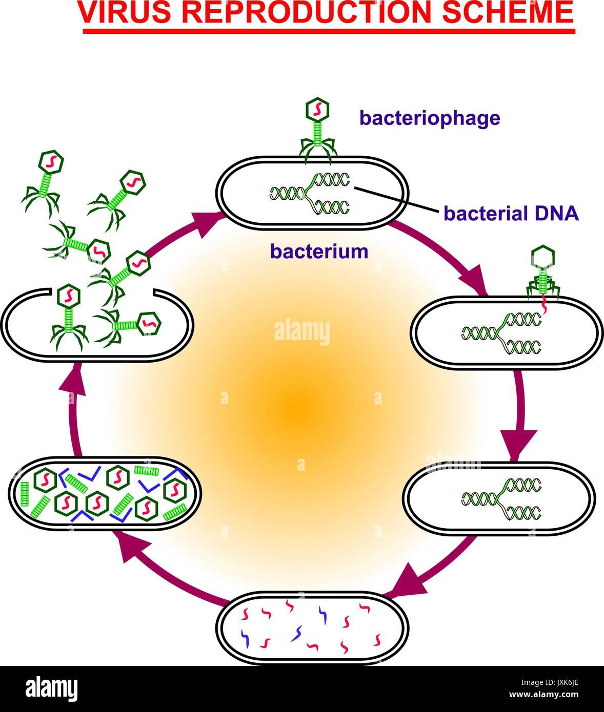 virus reproduction scheme - Stock Vector