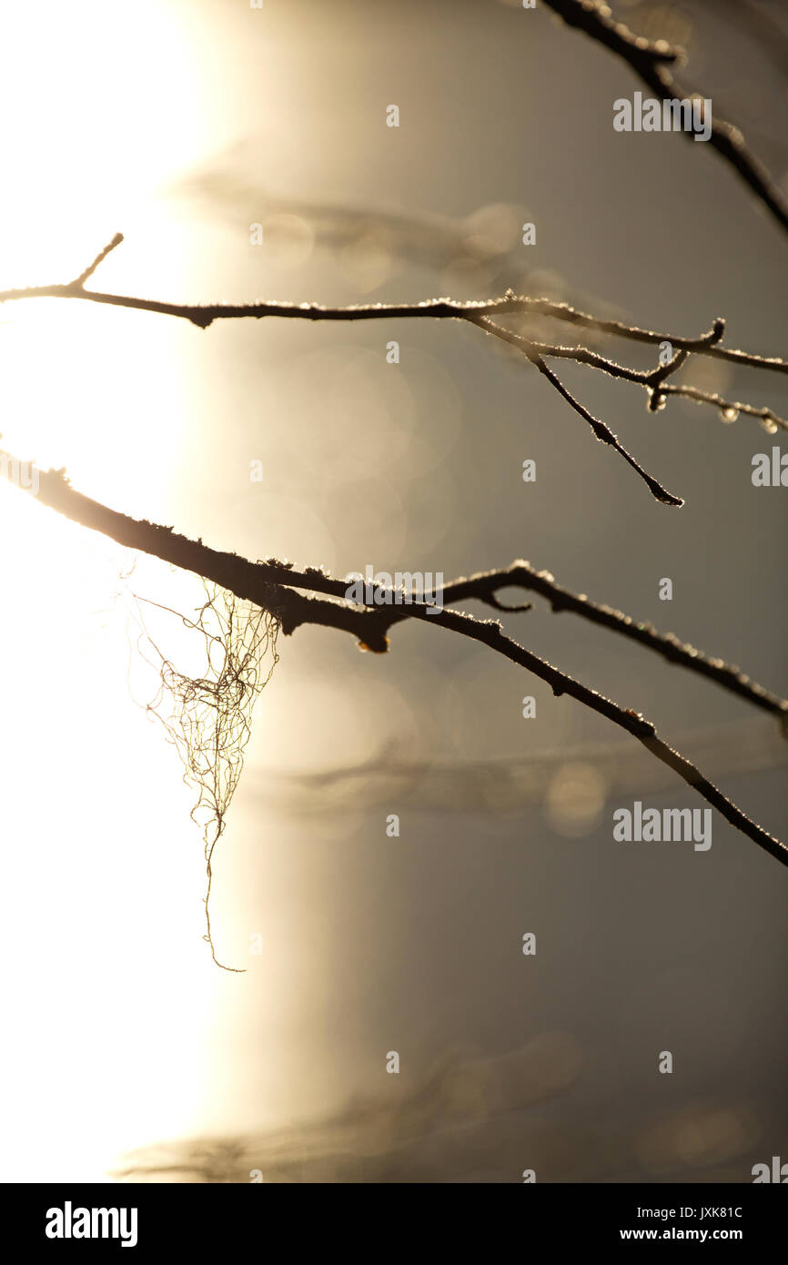 Frozen dew drops are glittering on bare birch twigs on an autumn morning. Stock Photo