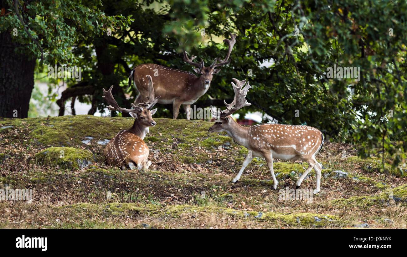 Hjort gevir, sort / hvid Stock fotos Hjort gevir, sort, og-4395