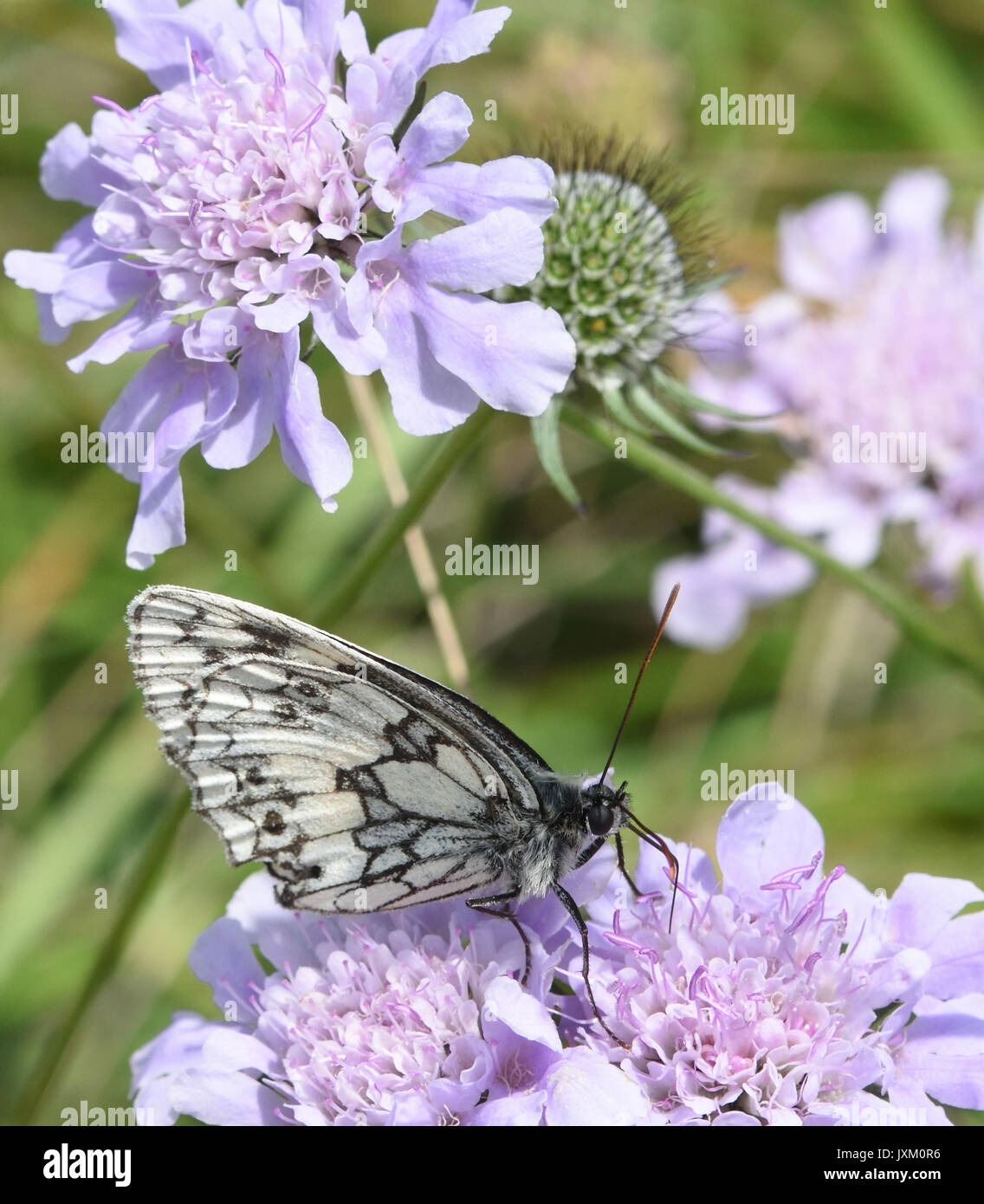 A black and white marbled white butterfly (Melanargia galathea) with closed wings takes nectar from a Field Scabious flower (Knautia arvensis). - Stock Image