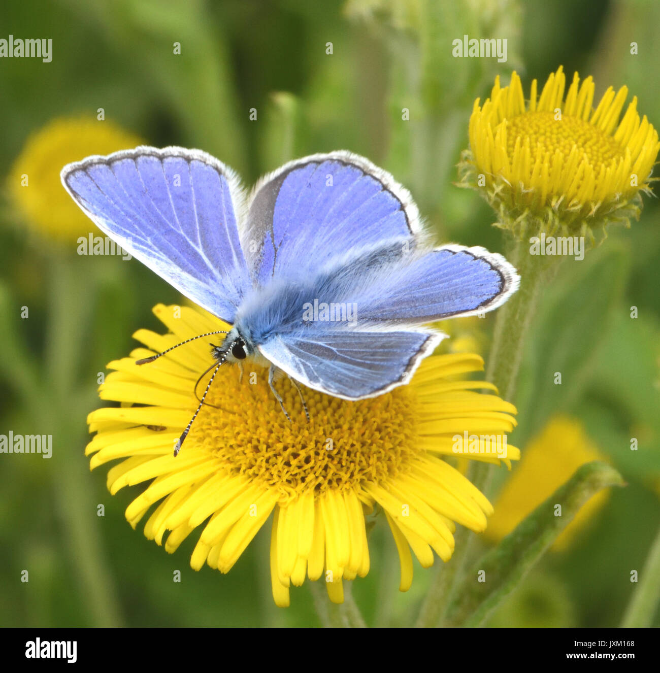 A male common blue butterfly (Polyommatus icarus) feeding with wings open on a Common Fleabane (Pulicaria dysenterica) flower. Bedgebury Forest, Kent, - Stock Image