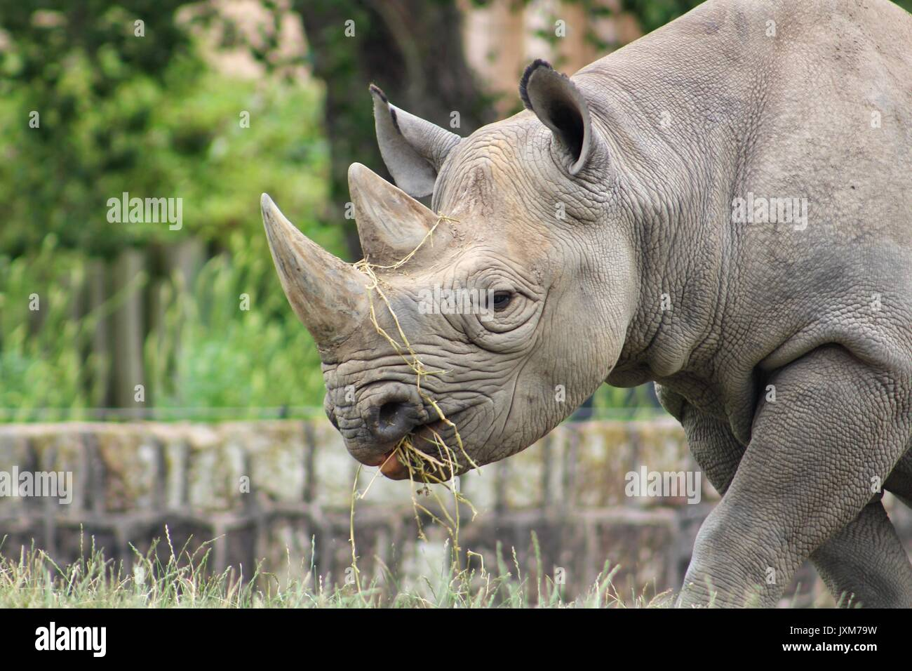 Rhinoceros, black rhino, rhino - Stock Image