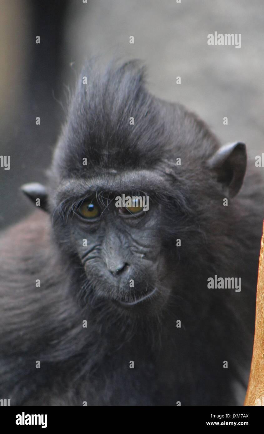 Sulawesi Macaque, monkey - Stock Image