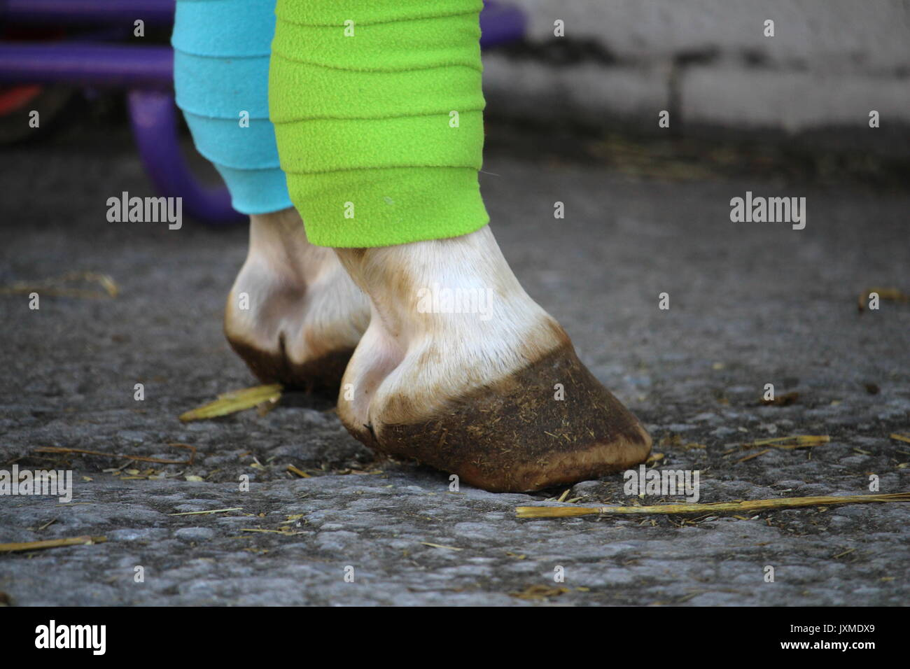 Two green and blue bandages on white horse's legs - Stock Image
