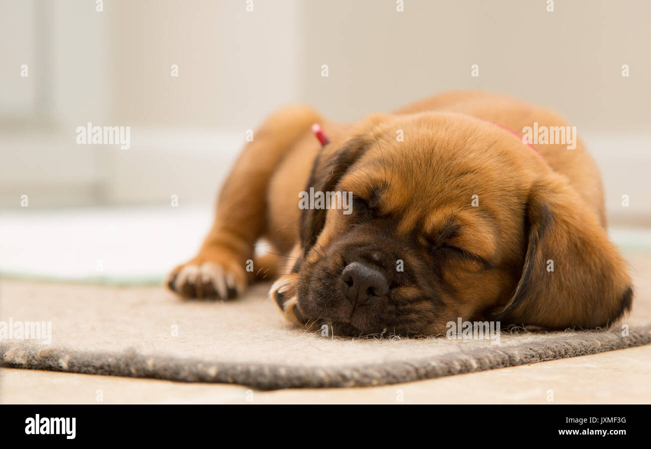 Dog sleeping indoors - Stock Image