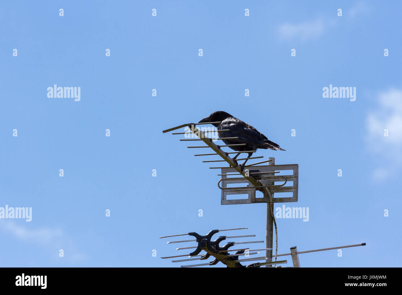 Carrion crow perched on a TV aerial - Stock Image