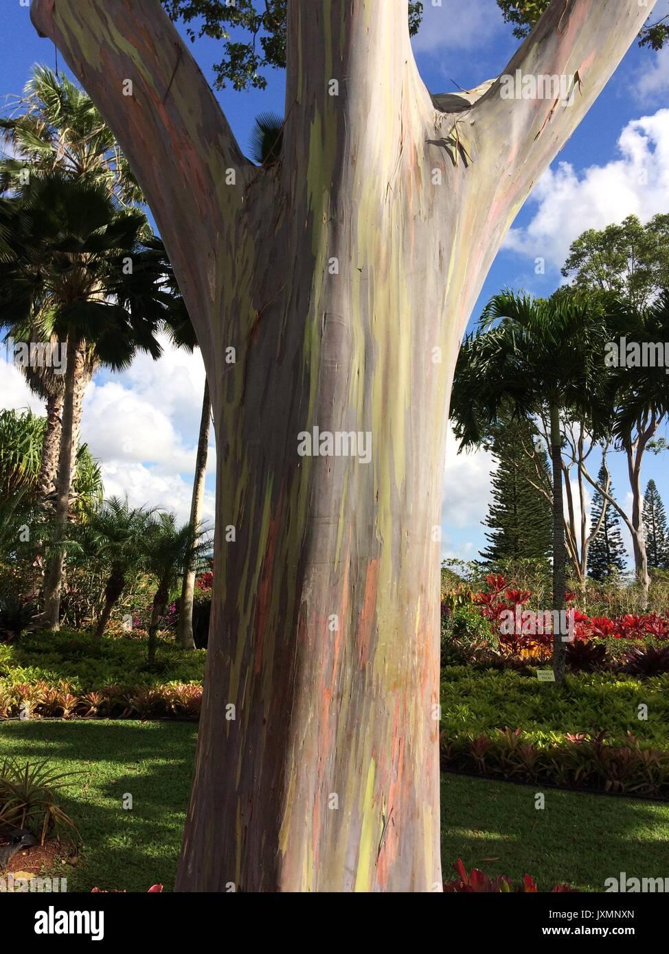 Rainbow Eucalyptus - Stock Image