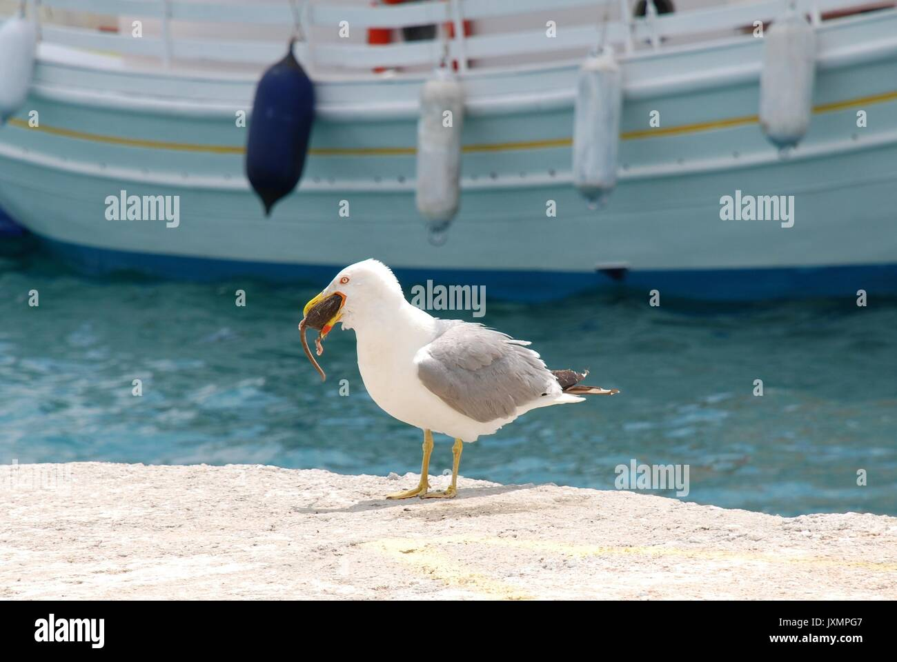 A gull eating a rat in the harbour at Skiathos Town on the Greek island of Skiathos. - Stock Image