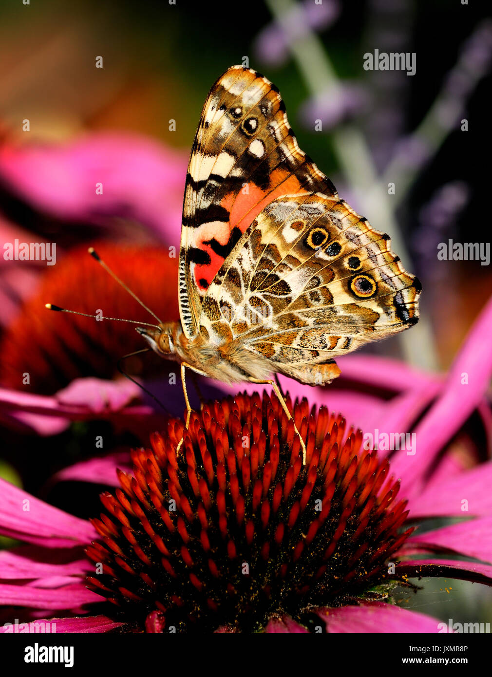 Painted Lady Butterfly (brush-footed Vanessa cardui) on echinacea flower. - Stock Image