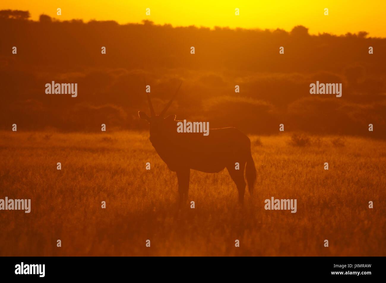 Gemsbok (Oryx gazella), Deception Valley, Central Kalahari Game Reserve, Botswana - Stock Image