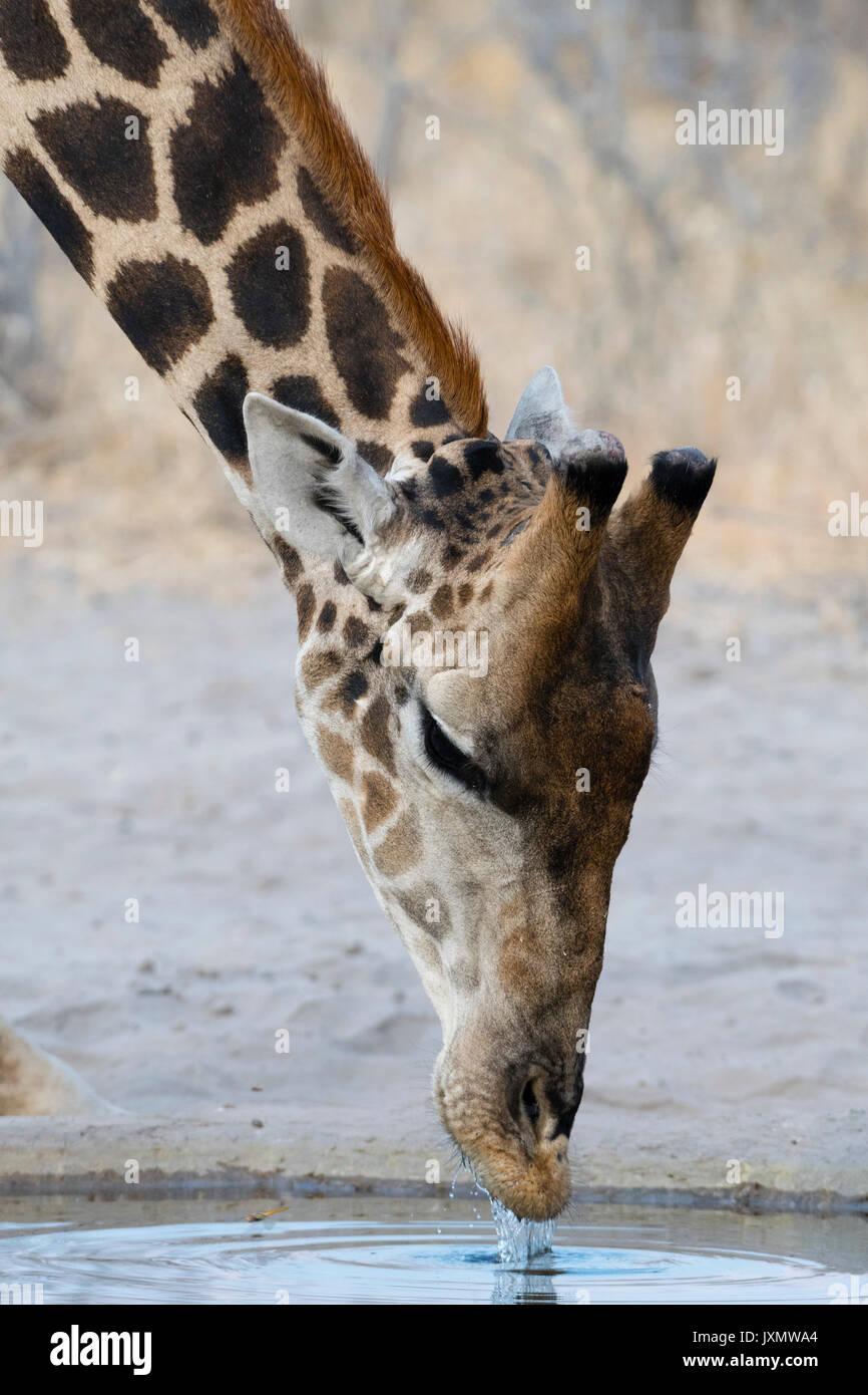 A Southern Giraffe (Giraffa camelopardalis) drinking, Kalahari, Botswana, Africa - Stock Image