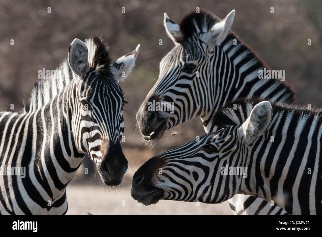 Three Burchell's zebra (Equus burchellii), Kalahari, Botswana, Africa Stock Photo