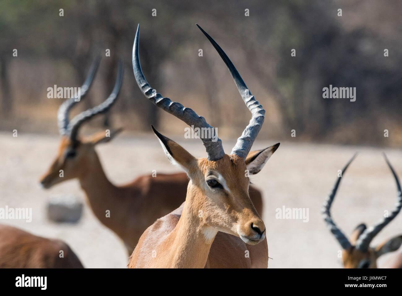 Portrait of Impala (Aepyceros melampus), Kalahari, Botswana, Africa Stock Photo