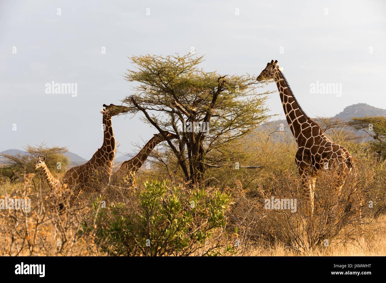 Reticulated giraffe (Giraffa camelopardalis reticulata), Kalama Wildlife Conservancy, Samburu, Kenya, Africa - Stock Image